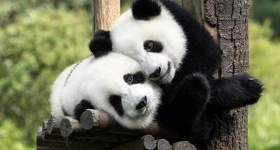 Melihat Panda secara Percuma Terima Kasih Malaysia